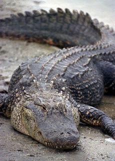 Alligatori (e Coccodrilli e Caimani)