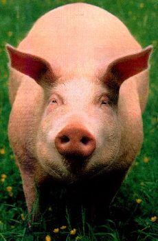 Maiali (e Porci)