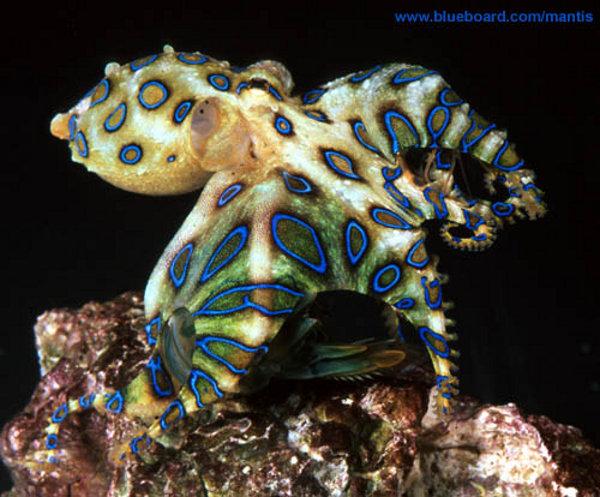 Il polpo dagli anelli blu, blue ringed octopus