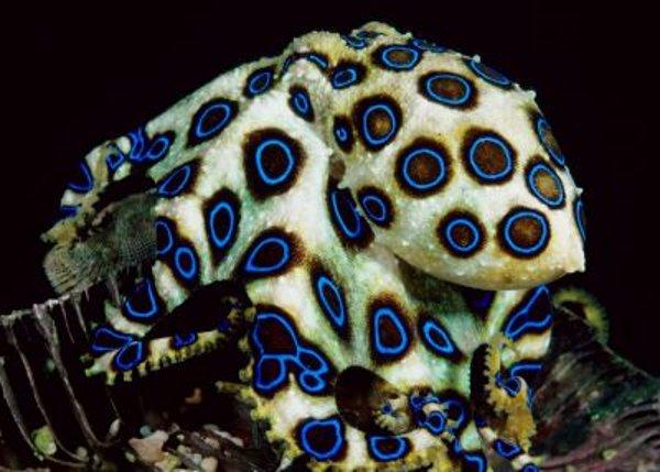 [IMG]http://www.latelanera.com/images_bank/ilpozzo/2010/polpo-anelli-blu-ringed-octopus-06.jpg[/IMG]