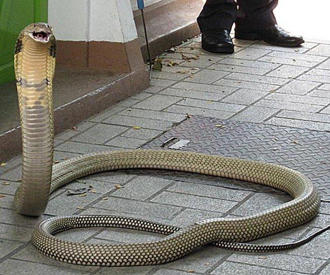 Un cobra reale per la strada...