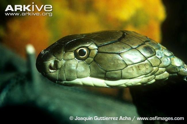 L'occhio intelligente e attento di un cobra reale