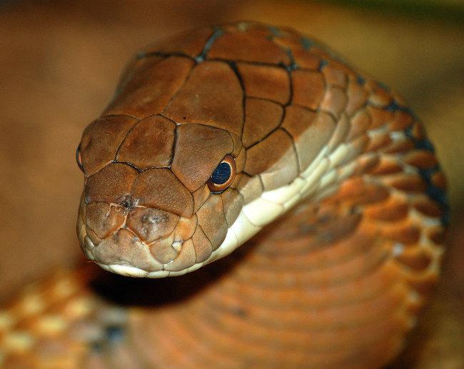 King cobra, una foto meravigliosa