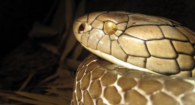 La mortale testa di un cobra reale
