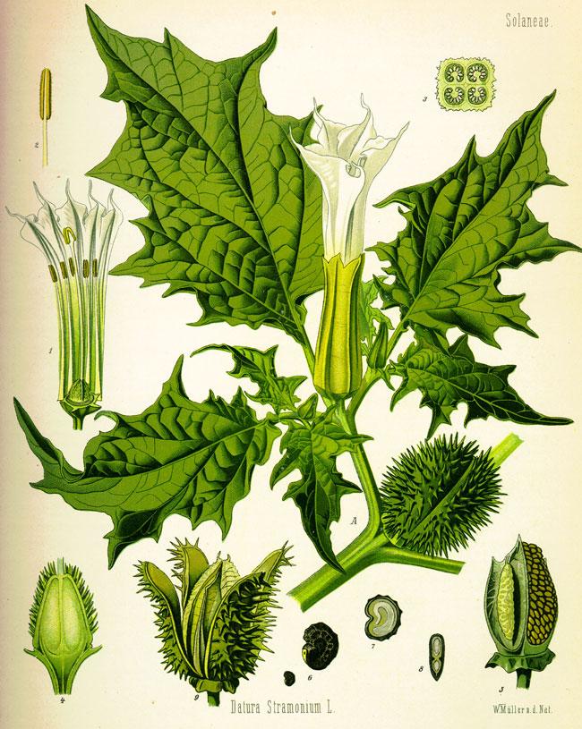 Una bella illustrazione della Datura Stramonium