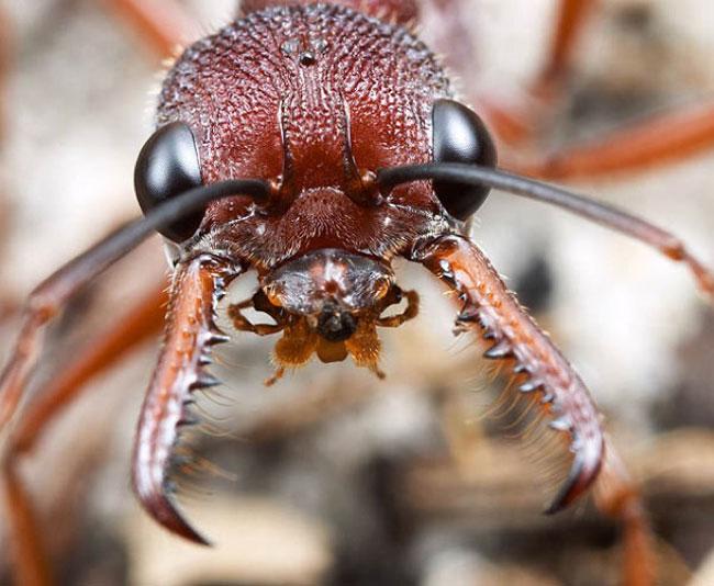 Formiche rosse giganti