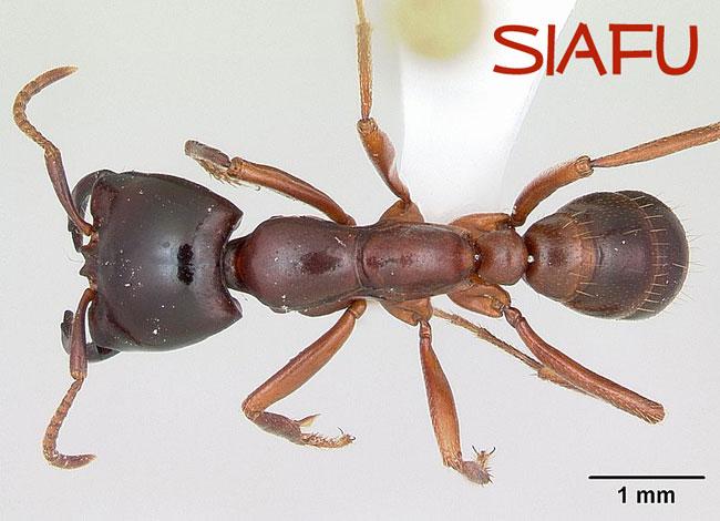 Un primo piano di una formica Siafu