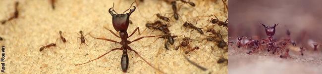 Formiche Siafu soldato controllano il territorio