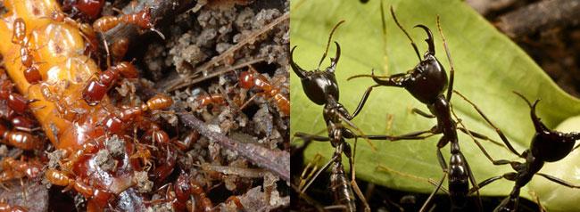 Immagini di formiche killer Siafu