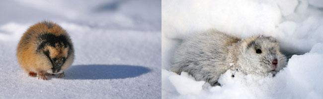 Lemmings nella neve artica