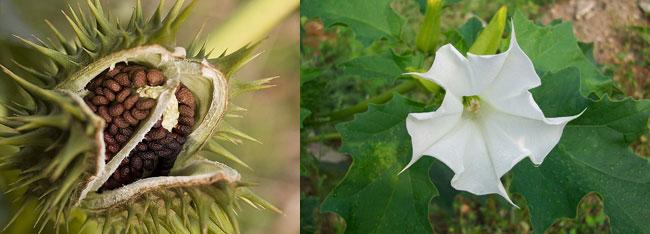 Semi e fiore dello Stramonio