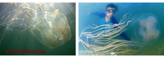 Alcune Vespe di mare, praticamente trasparenti