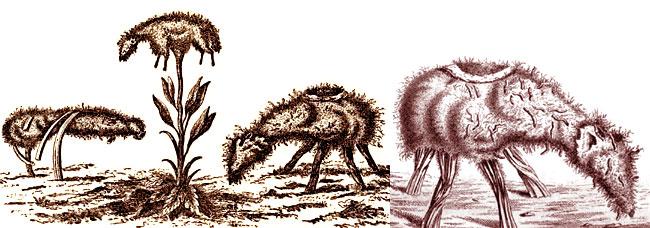 La misteriosa creatura Agnello della Vegetale Tartaria
