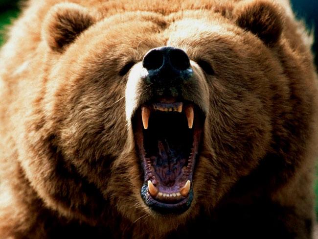 Le fauci di un enorme Ursus arctos orribili