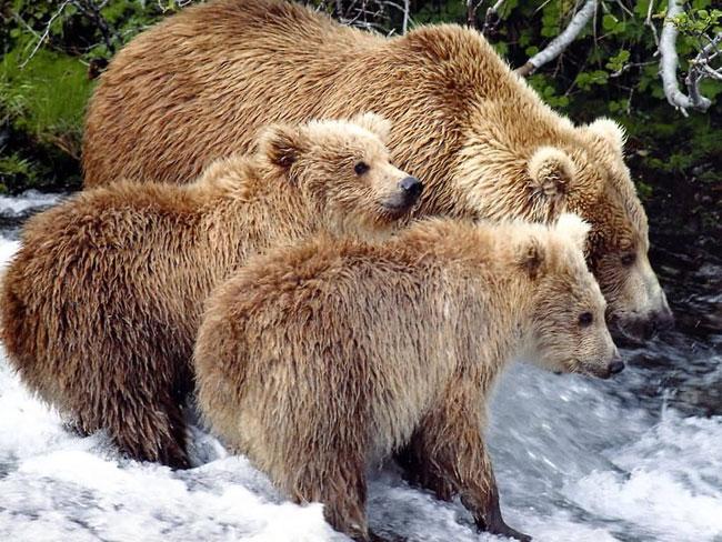 Mamma orso Grizzly e due cuccioli