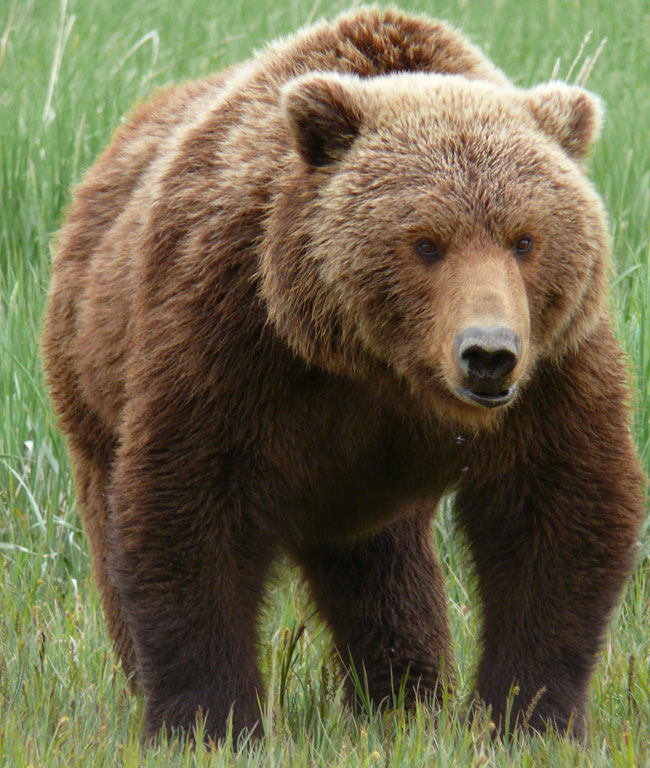 Un orso Grizzly a caccia