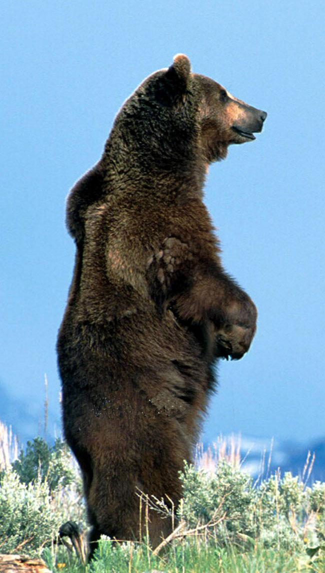 Orso grizzly ursus arctos orribili for Affittare una cabina grande orso