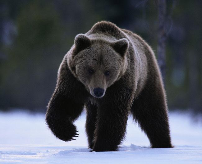 Un Ursus arctos orribili che zampetta sulla neve