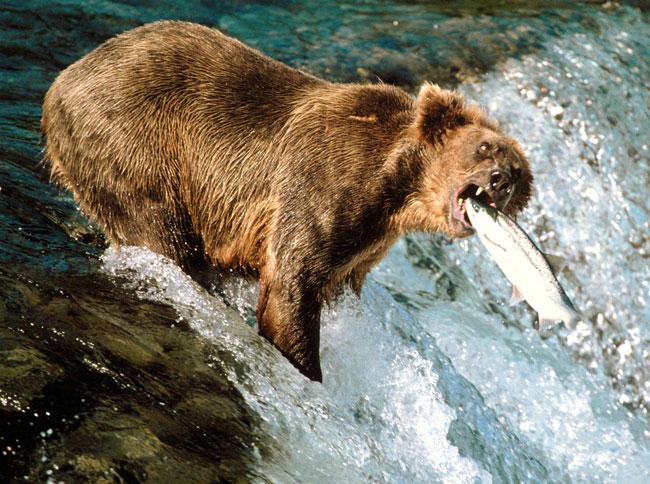 Un orso Grizzly a pesca di salmoni