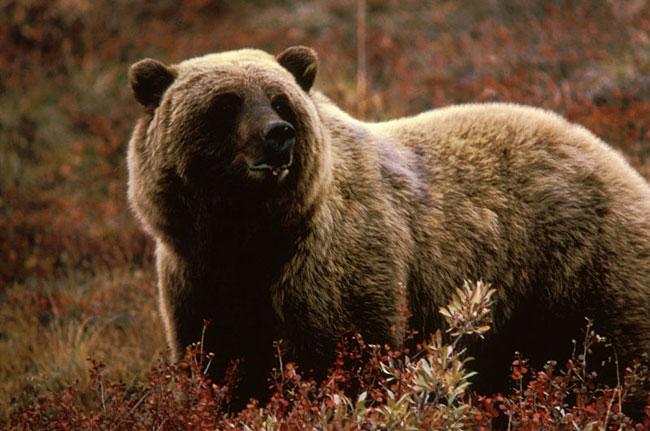 Un Grizzly tra la bassa vegetazione