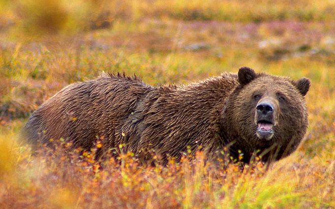 Un orso Grizzly: ci ha visto, meglio andarsene