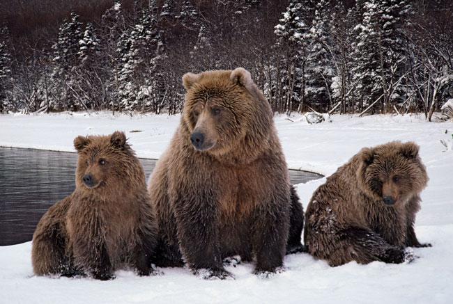 Una femmina di Grizzly e due cuccioli