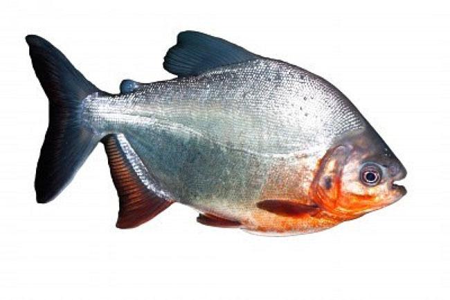 Piranha serrasalmus nattereri for Un pesce allevato in acque stagnanti