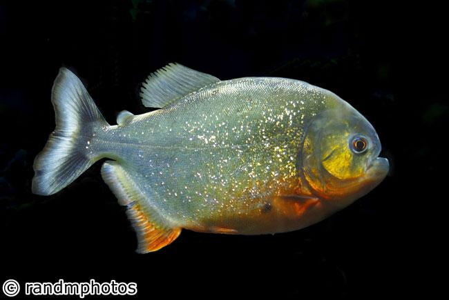Un bell'esemplare di pesce piraña
