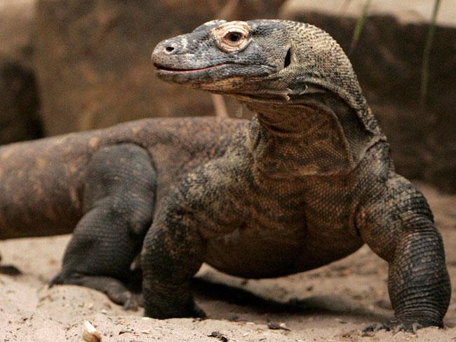 Foto di un Varano di Komodo