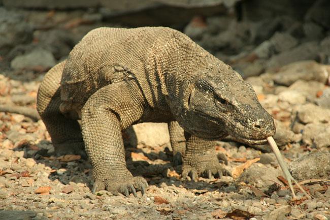Un Varano di Komodo in cerca di cibo