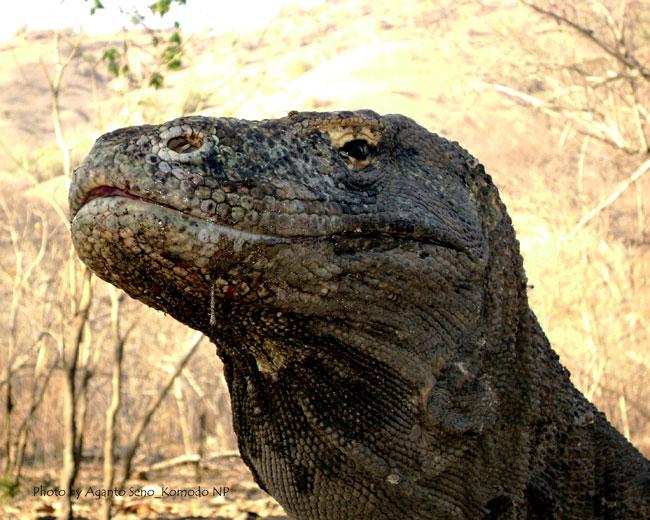 La foto di un primo piano di un Varano di Komodo