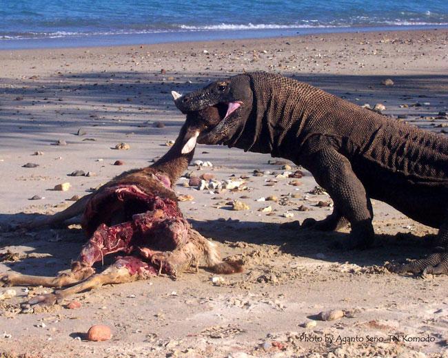 Un drago di Komodo mentre mangia