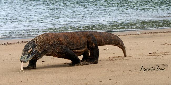 Un Drago sulla spiaggia di Komodo