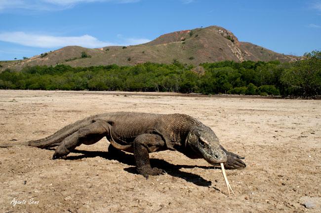 Un Varano nell'entroterra dell'isola di Komodo