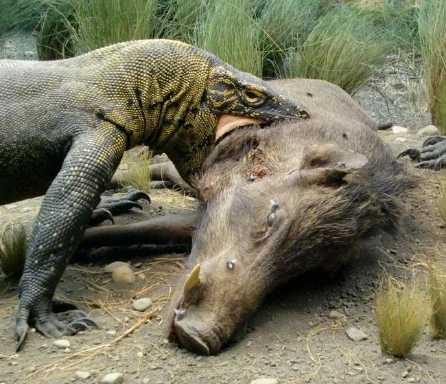 Un Varano di Komodo addenta un cinghiale morto
