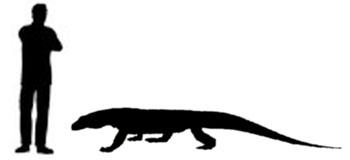 Confronto di dimensioni tra uomo adulto e Varano di Komodo