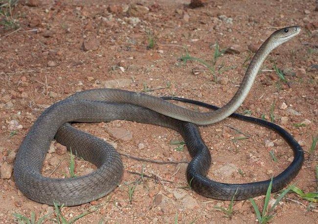 Un black mamba a terra: il serpente più veloce