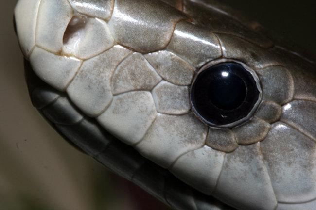 L'occhio di un black mamba: se lo vedi puoi solo scappare veloce!
