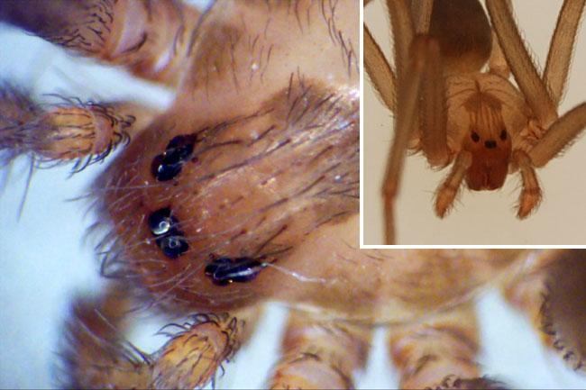 Una foto ravvicinata degli occhi del ragno bruno solitario