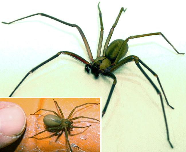 Una foto con le proporzioni del brown recluse spider