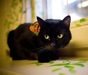 Un gatto nero, animale spesso ingiustamente associato ai riti magici