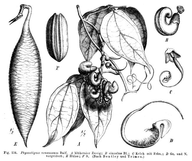 La Fava del Calabar (Physostigma Venenosum)