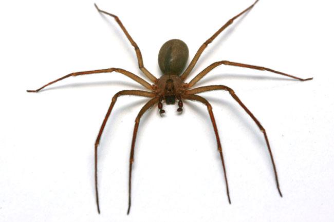 Una foto di un esemplare di ragno bruno eremita