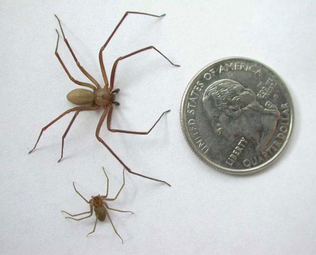 Una foto di un esemplare di ragno bruno solitario