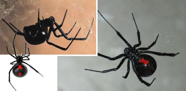 La vedova nera è tra i ragni più velenosi al mondo
