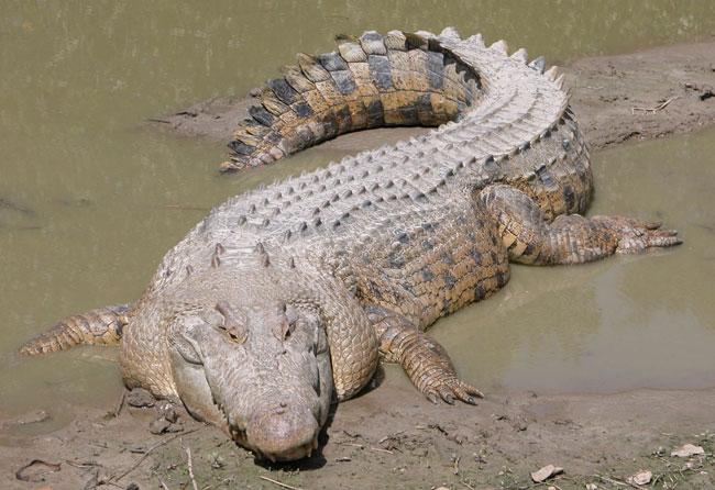 Grosso, lungo, pesante e letale: il saltwater crocodile