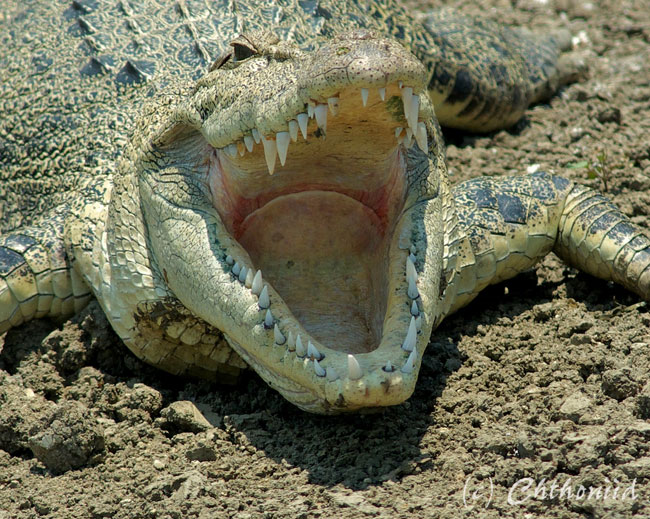 Le fauci di un coccodrillo d'acqua salata