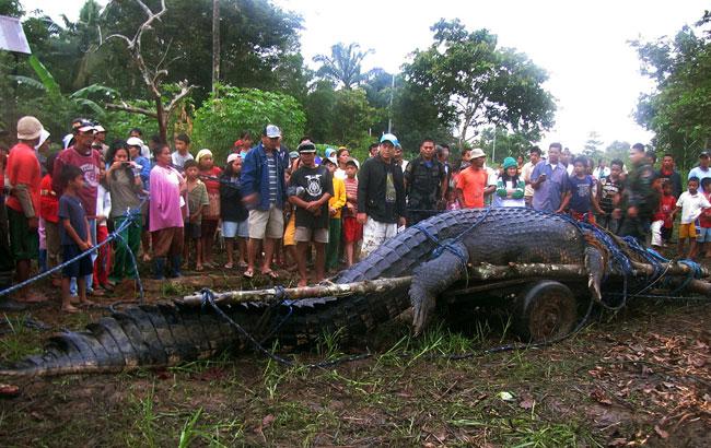 Il più lungo coccodrillo saltwater mai catturato