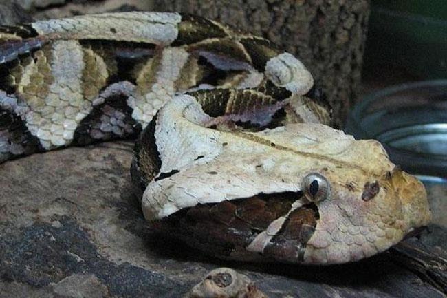 La foto ravvicinata della testa di una Bitis Gabonica