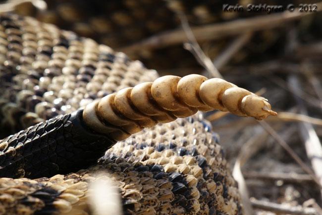 Il sonaglio del Crotalus adamanteus